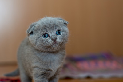 Grey Fur Kitten