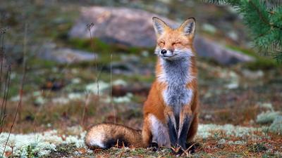 Довольная лисичка