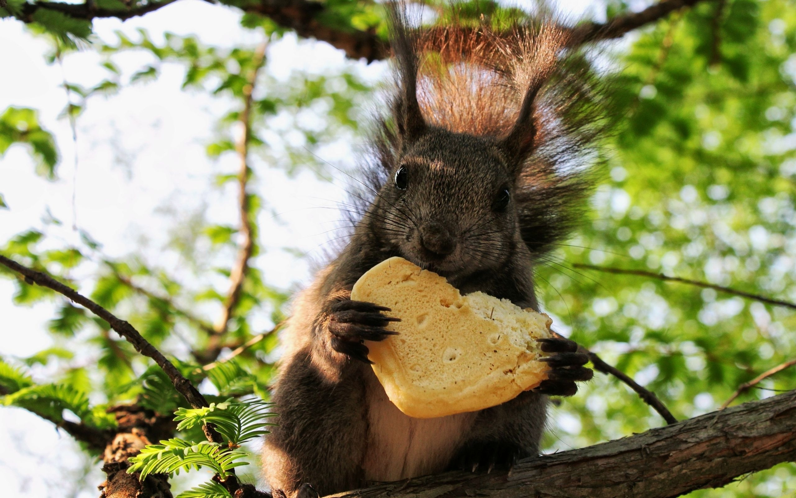 Squirrel eating a cookie