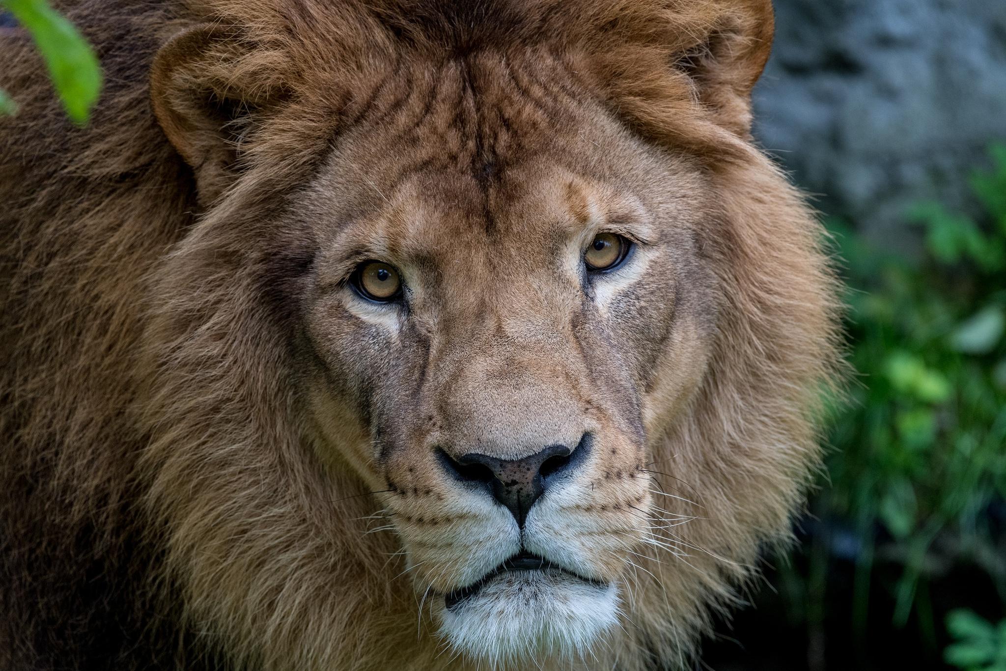 Лев животное