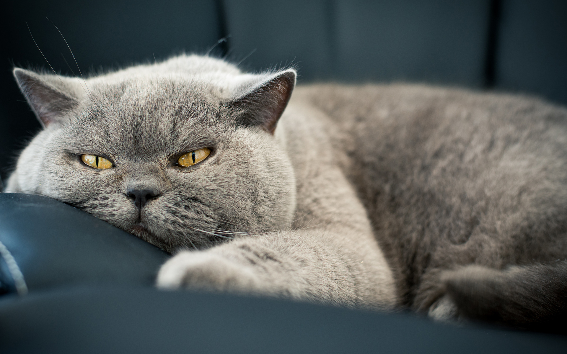 Lazy Gray Cat Closeup