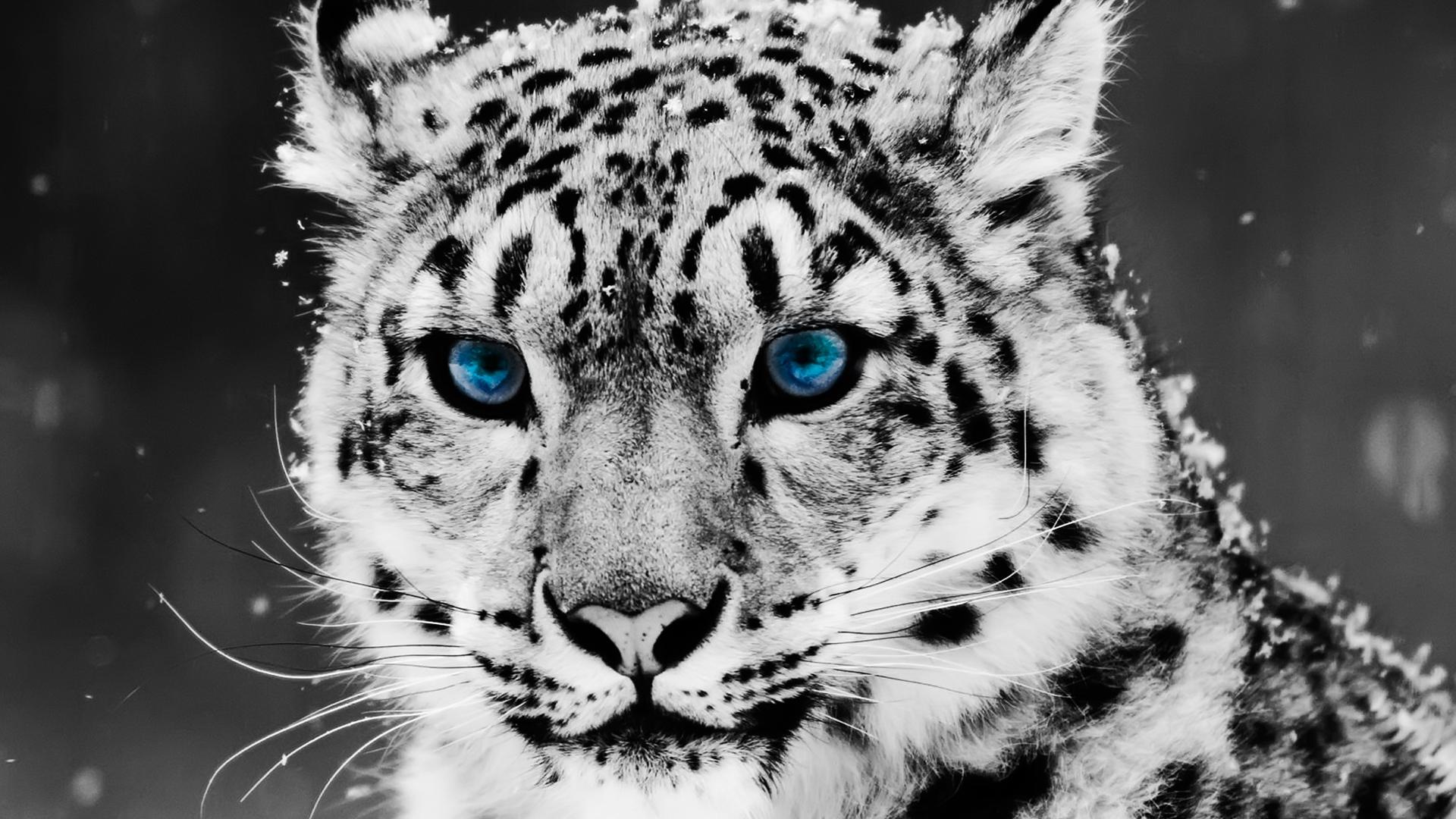 snow leopard essay example