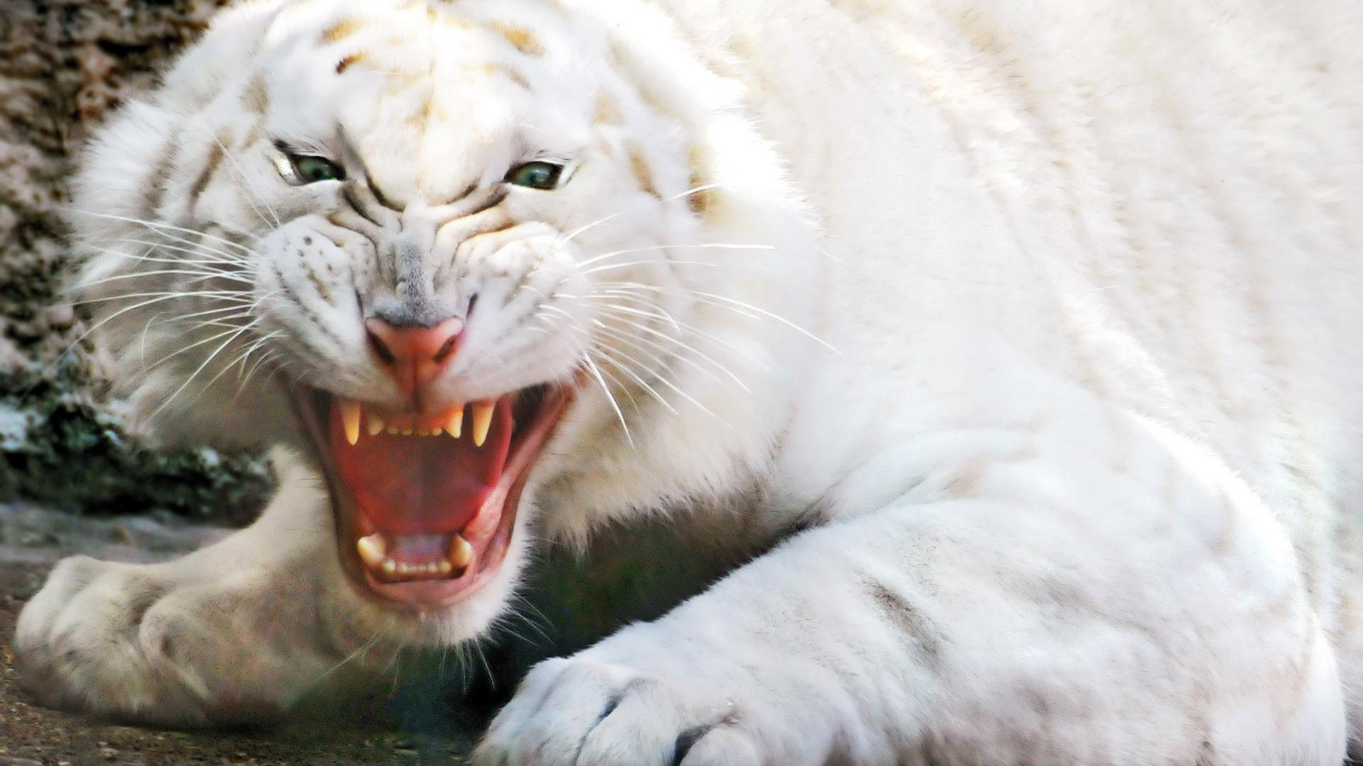 Angry white tiger