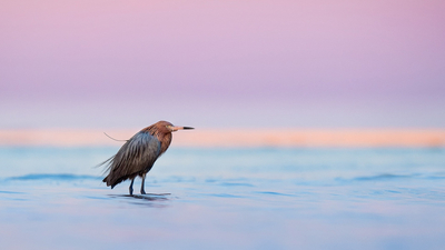 dusk, lake, wildlife, twilight, egret, sunset